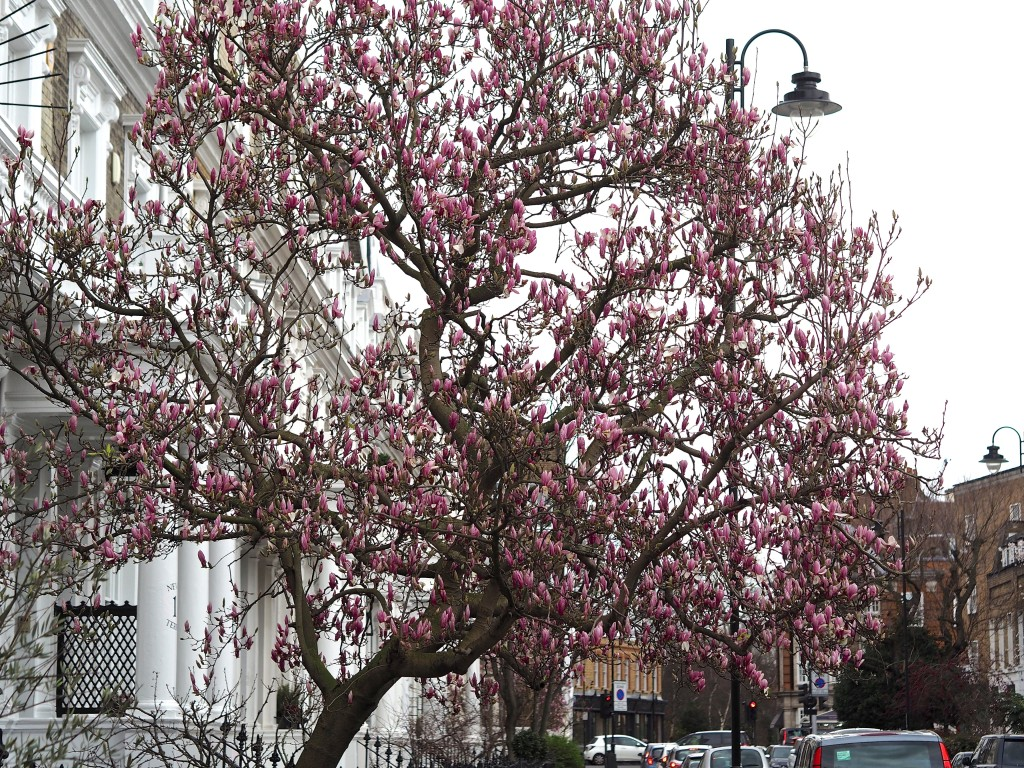 Magnolia Tree in Chelsea